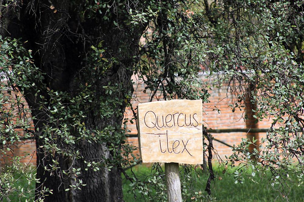 Quercus ilex, Quinta de Torre Arias